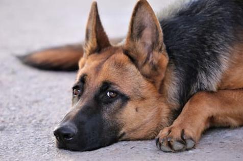 Kastrera hanhund
